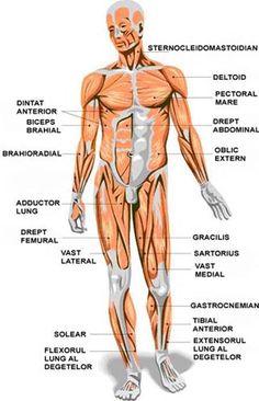 Musculatura corpului uman vedere fata