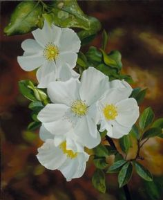 """""""Cherokee Rose"""" 32 x 26 inches, oil on canvas by Camille Engel. COMMISSION: A contemporary realism still life floral oil painting depicting a white Cherokee Rose (Rosa Laevigata). Rose Tattoos, Flower Tattoos, Tatoos, Cherokee Rose, Acrylic Painting Inspiration, Trail Of Tears, Native American Crafts, Georgia On My Mind, Oil Painters"""