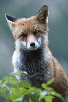 earthandanimals: Fox portrait by Alexis Courthoud