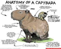 strip for May / 2 / 2017 - Anatomy of a Capybara Inktober, Todays Comics, Capybara, Pop Culture References, All About Animals, Cute Creatures, Rodents, Funny Cartoons, Science And Nature
