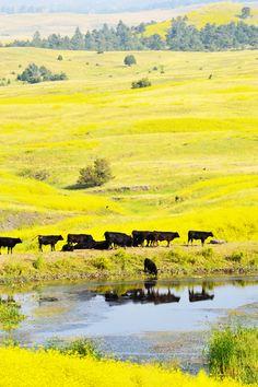 Les vaches sous le soleil ardant