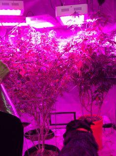 Indoor grow 2017