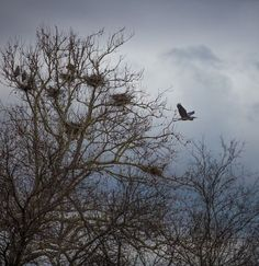 Tree full of huge nests Photo by Carol Elaine — National Geographic Your Shot