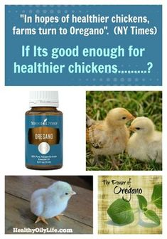 You've seen the TV commercial for the Organic Chickens... No antibiotics? They use Oregano Oil in their water to stay healthy! Young Living's Vitality Line of Essential Oils, are the only FDA oils approved for ingesting! Download my Free E-Book: Using Oils For Wellness, so you can learn Simple ways to keep your family healthy! #oregano, #noantibiotics, #winterwellness, #naturalhealth, #homeremedies, #chickens, #farmlife, #barns