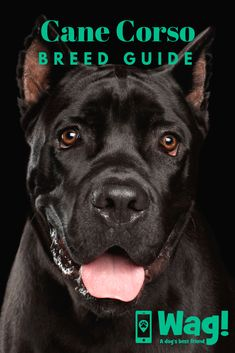 Whether you own a Cane Corso or you're thinking of getting one, click to read our breed guide for everything that you need to know! #canecorso #bigdogs #mediumsizeddogs #huntingdogs #guarddogs Cane Corso Dog Breed, Cane Corso Breeders, Cane Corso Italian Mastiff, Cane Corso Puppies, Pug Puppies, Pugs For Sale, Huge Dogs, Dog Best Friend, Large Dog Breeds