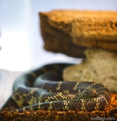The Wilds of the Boyd Hill Nature Preserve in Photos:  http://www.davonnajuroe.com/snakes-aligators-wilds-boyd-hill-nature-preserve-photos/ #BoydHillNaturePreserve #Snake