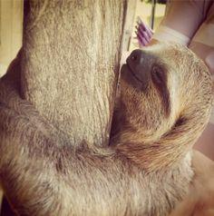 Uma viagem à Amazônia só está completa se você abraçar uma preguiça ;) #preguiça #Amazônia #amazonas #manaus #brasil #brazil