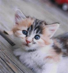 This is the type of of cat I want as my offical 1st kitten. (excluding simba of course.) Calico kitten