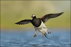 All sizes | Long-tailed Duck | Flickr - Photo Sharing!