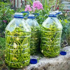 Our famous rounding pickles are the famous pickles of Thrace. Turkish Recipes, Gardening Supplies, Fermented Foods, Everyday Food, Superfood, Pickles, Food And Drink, Stuffed Peppers, Homemade
