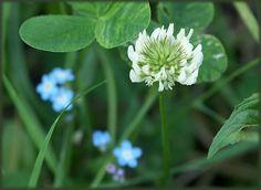 White clover: host plant for numerous butterflies