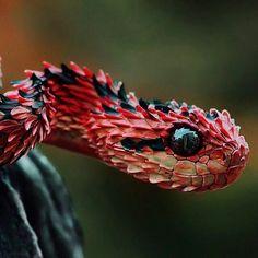 22 photos du serpent venimeux le plus cool du monde – The African Bush Viper Pretty Snakes, Cool Snakes, Colorful Snakes, Beautiful Snakes, Colorful Animals, Reptiles Et Amphibiens, Cute Reptiles, Reptiles Preschool, Nature Animals