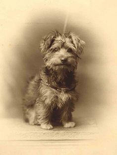 Vintage photo, smiling scruffy little dog