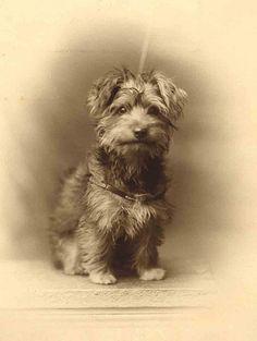 Vintage photo, smiling scruffy little dog