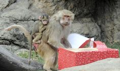 """Prospect Park Zoo - Hamadryas Baboon unwrap holiday gifts in the zoo's """"Presents to the Animals"""" program. Photo: Julie Larsen Maher/WCS"""