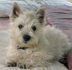 Dennis the West Highland Terrier