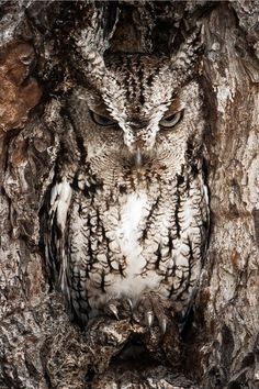 Can you make hoot what it is yet? Natural camouflage leaves this American owl barely visible at the entrance to its nest - Vögel - Animals Pictures Nature Animals, Animals And Pets, Cute Animals, Animals Planet, Colorful Animals, Colorful Birds, Wild Animals, Beautiful Owl, Animals Beautiful