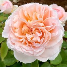 Large, full rosettes of rich pure apricot, pale toward the edge and are centered with a large button eye. Old English Roses, Creator Of The Universe, Rose Varieties, Types Of Roses, Button Eyes, Old Rose, David Austin Roses, Growing Roses, Planting Roses