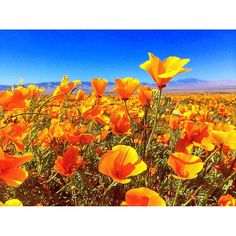Best time to visit March through May. Eight miles of trails to explore, all with views of the flowers. California Poppy, Valley California, Antelope Valley Poppy Reserve, Borrego Springs, Family Adventure, Adventure Awaits, Local Parks, Park Photos, Park City