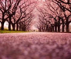 #pinktrees #treelinedstreet #breathtaking #pictureperfect