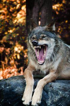 #wolf #wolves #yawning