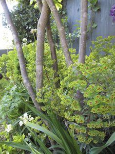 Parrotia persica - Persian ironwood. Underplanted with Euphorbia, tulips, alliums, geraniums.