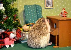 So, I, uh, took pictures of my pet in little Christmas scenes.  It happens.  Don't judge.    Anyway, we entered this one in a hedgehog holiday photography contest.  Yes, there are hedgehog holiday photography contests.  And we got 3rd place, which is quite good, really.