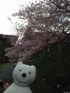 クマ散歩:国立劇場さくらまつりに品行方正なクマ出没 The Bear went to National Theatre of Japan Cherry Blossom Festival!♪☆(^O^)/  #品行方正 #さくらまつり