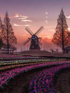Pôr do Sol, Moinho de Vento e Campo de Tulipas na Holanda
