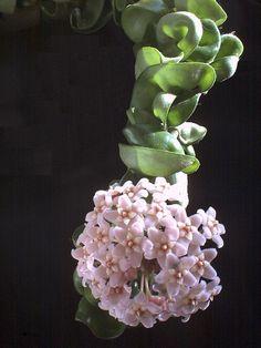 Flowering Hindu Rope plant!