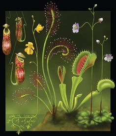 Carnivorous plants - from left to right: Nepenthes (Tropical pitcher plant), Utricularia (Bladderwort), Drosera (Sundew), Dionaea (Venus flytrap), Pinguicula (Butterwort).