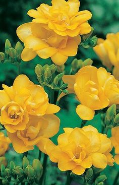 Double Yellow Freesia, yellow flower, gardening, landscaping, plantings, flowers