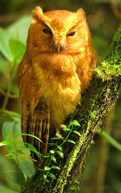 Cinnamon Screech Owl (Megascops petersoni) is a species of owl in the Strigidae family. It is found in Ecuador and Peru.