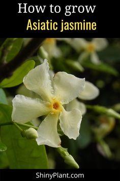 Learn how to grow Asiatic jasmine. it is a fast growing in a vine evergreen vine. #asiaticjasmine #plant #jasmine