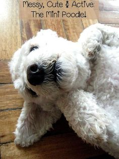 The miniature poodle is an active small hypoallergenic dog that LOVES to make a big mess so be ready to keep up with his energy and bathing needs!!!