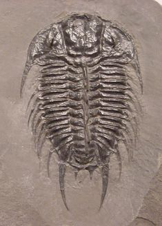 Name: Olenoides nevadensis    (Meek, 1870)  Order Corynexochida, Suborder Corynexochina, Superfamily Corynexochoidea, Family Dorypygidae  Locality: Drum Mountains, Utah   Stratigraphy: Pierson Cove Formation, Middle Cambrian