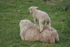 Morchard Road sheep, Devon 090409