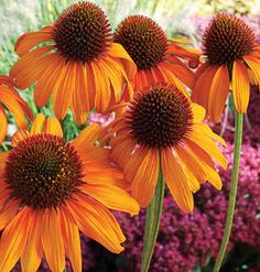 Coneflower   The bright orange Echinacea 'Tiki Torch' is summer's hottest new coneflower variety. Once established, the sun-loving 'Tiki Torch' tolerates heat and drought while growing to a hearty 36 inches tall.  Plant Tip: Clip off blooms as they fade, and new ones will continue growing well into fall.