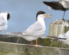 Forster's Tern - Cape  May NJ
