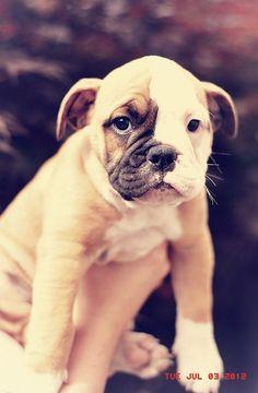 Old English Bull Dog Pup, I want one so bad