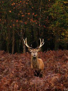 aworldofinfinitepossibilities:  Autumn Stag | Flickr - Photo...