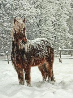 Google Image Result for http://horsemanmagazine.com/wp-content/uploads/2008/08/icelandic-horse.jpg