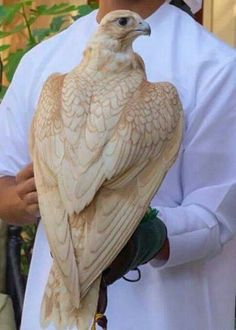 The caption said saker falcon, but I'm not sure.  I've never seen a bird this colour before!