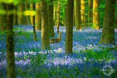 There's A Mystical Forest In Belgium All Carpeted With Bluebell Flowers   Bored Panda (c) Ramon Stijnen Photography
