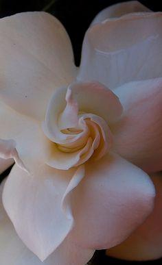 Gardenia my favorite
