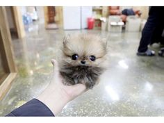 Teacup Pomeranian YES! Teacup Pomeranian YES! Spitz Pomeranian, Pomeranian Puppy For Sale, Cute Pomeranian, Pomeranians, Teacup Pomeranian Full Grown, Teacup Puppies, Tiny Puppies, Cute Puppies, Cute Dogs