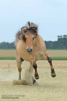 Norwegian Fjord horse - Feeling its oats!