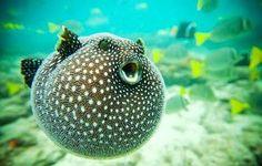 Puffer Fish.  so freakin' cute!
