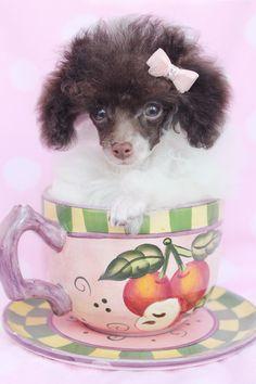 Beautiful Teacup Poodle Puppy