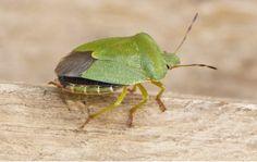 Ukoliko vidite u kući smrdibube, budite na oprezu! Animals, Gardening, Living Room Plants, Beetle, Insects, Pets, Animales, Animaux, Lawn And Garden